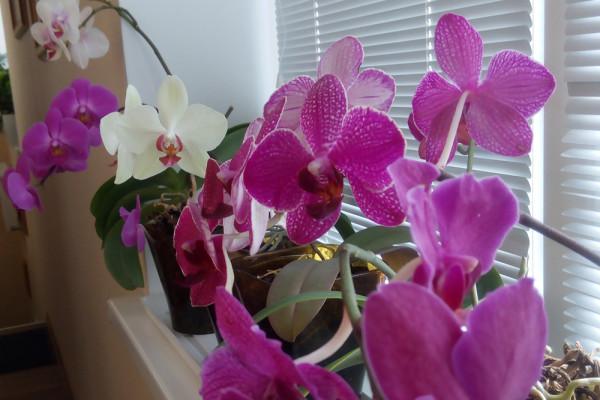 Независимо от вида все орхидеи предпочитают в ночное время понижение температурного режима