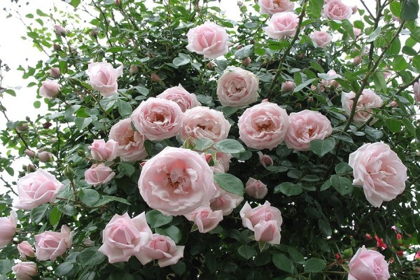 Роза плетистая сорта New Dawn
