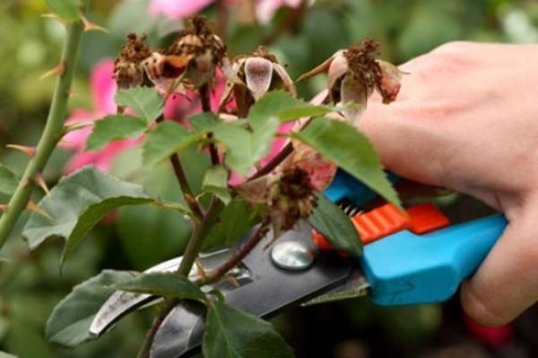 Обрезка роз после цветения