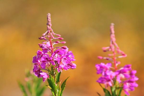 Иван-чай в период цветения
