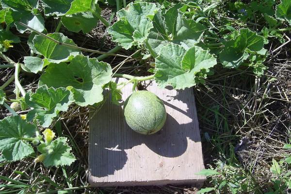 Правильная формировка дыни - гарантия урожая