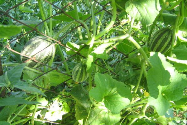 Кожура вьетнамских дынь может быть зеленой, белой, жёлтой. Полностью созревшие плоды - оранжевые, с коричневыми полосками