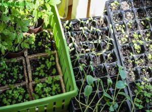 Почва для рассады дынь должна быть рыхлой и питательной