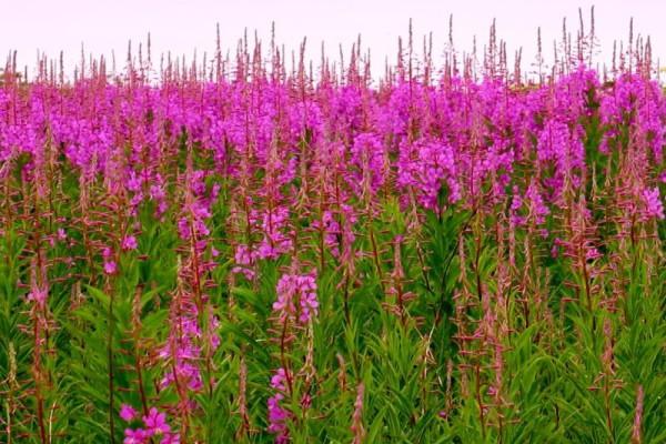 Иван чай образует «плантации» на пустырях и полянах