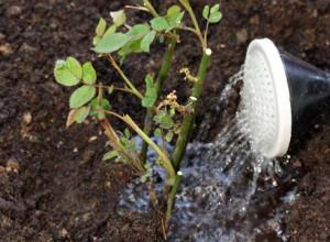 Поливать плетистые розы лучше редко, но обильно ( до 15 л воды на куст)