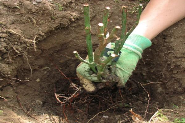 Глубина ямки определяется закрытием корневой шейки землей на 10 см