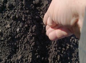 Посев семян дыни в открытый грунт