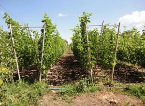 Виноград на V-образной двухплоскостной шпалере