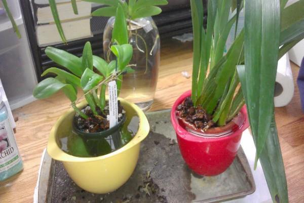 Реанимация орхидей видео