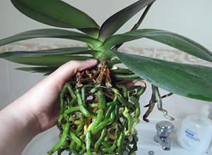 Обязательно промойте корни растения перед пересадкой