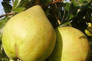 Крупные плоды груши Просто Мария