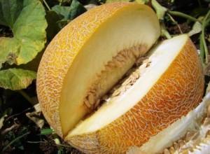Одной из разновидностей сорта Торпеда является дыня Радужная, которая адаптирована для выращивания на территории России