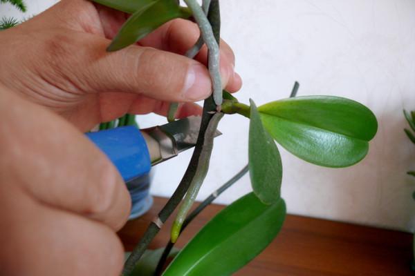 Места разделения орхидеи посыпьте размельченным древесным углем для дезинфекции