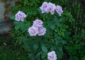 В зависимости от места посадки: на солнце или в полутени, куст роз Индиголетта приобретает соответствующий оттенок. Голубые розы растут в полутени