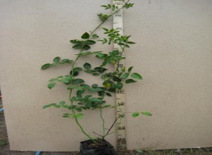 Чтобы исключить дополнительную работу по взращиванию, можно купить саженец с наличием корневой системы