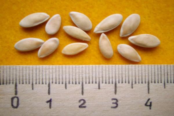 Старайтесь выбирать крупные семена для посадки