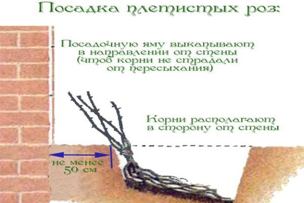 Схема посадки плетистых роз (для увеличения нажмите на картинку)
