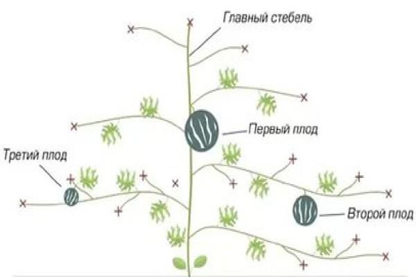 Схема формирования бахчи