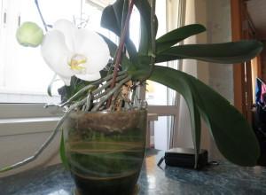 Сильно разросшиеся корни орхидеи (на фото Фаленопсис) - сигнал к пересадке цветка
