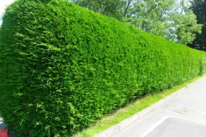 thumb_99774949_large_Hedge