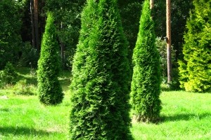 thumb_thuja-occidentalis-smaragd