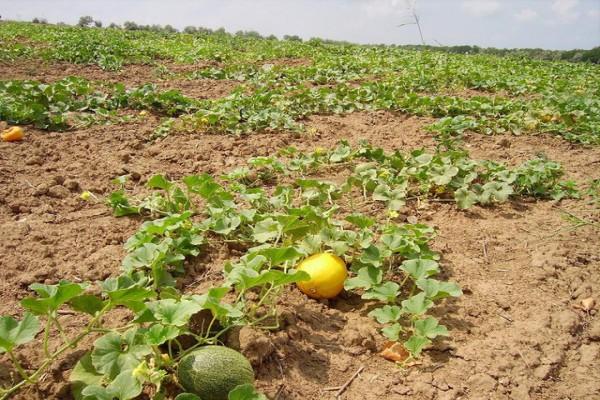 Важно не допускать загущения посевов, убирать испорченные завязи и плети