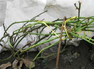 Укрытие куста плетистой розы на зиму