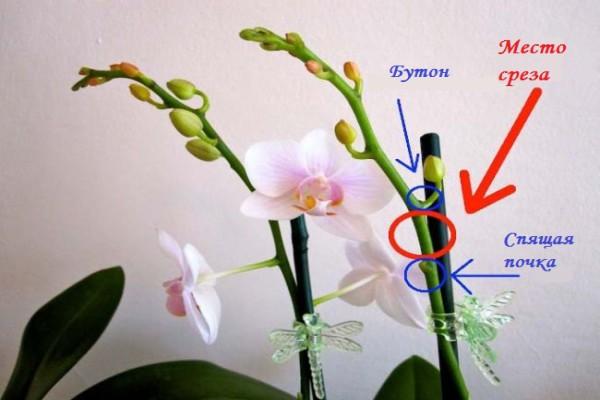 Уход за орхидеей после цветения: основные нюансы