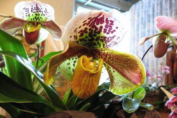 Орхидея Венерин башмачок в домашних условиях