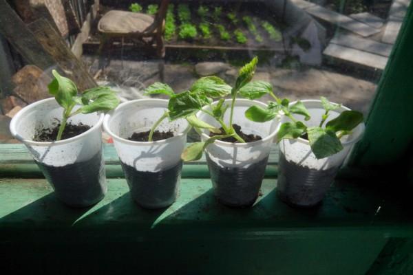 Выращивание рассады дыни