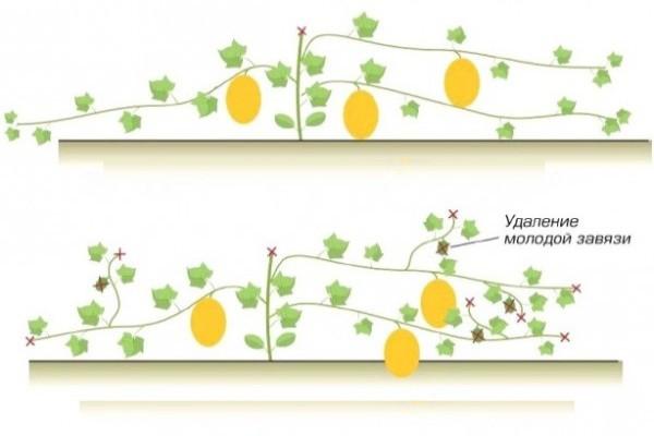 Схема прищипывания растений дыни