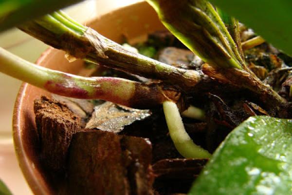 Зимой, домашние орхидеи поливают менее обильно, чем летом