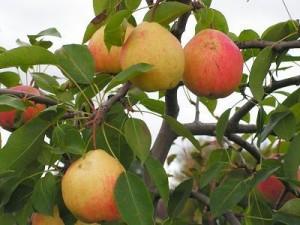 Плоды груши сорта Кафедральная