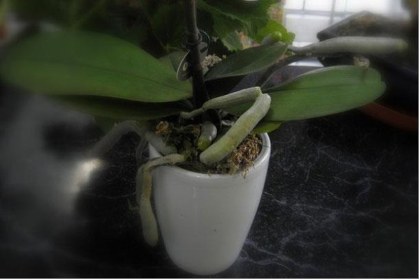 Если корни начинают менять цвет с зеленого на серебристый, значит его пора полить