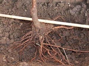 Почва для сливы