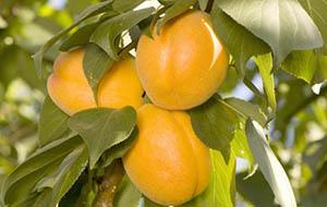 Гибрид сливы и абрикоса Плуот