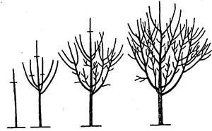 Пример пирамидальной кроны