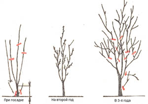 Обрезка молодого дерева