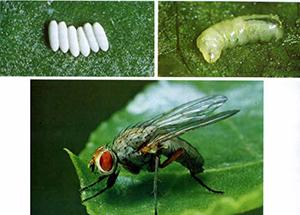 Свекловичная муха на листьях свеклы