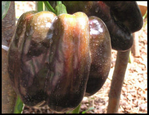 Сорт перца Багира