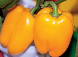 Сорт перца Оранжевое чудо