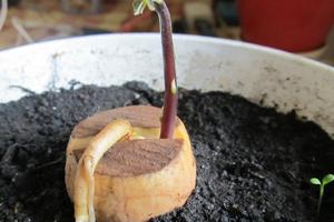 Всходы-авокадо