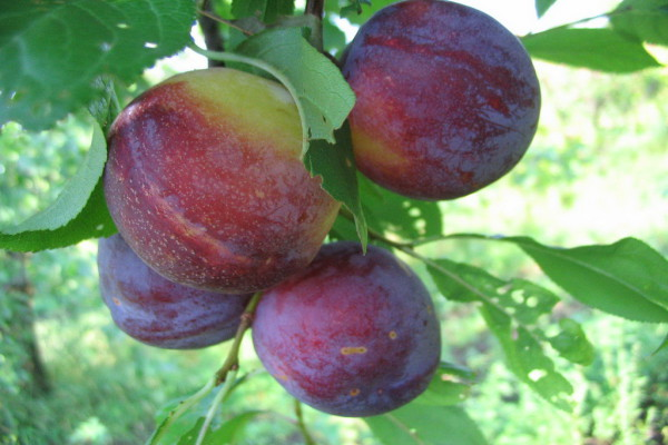 Плоды сливы сорта {amp}quot;Сувенир Востока{amp}quot;