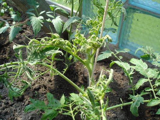 Скрученность листьев - признак аспермии ( на фото аспермия томата)