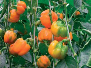 Сорт перца Звезда Востока оранжевая