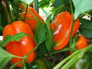 Сорт перца Оранжевый Гигант