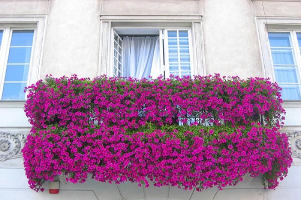 На маленьких открытых балконах лучше выращивать каскадные сорта петунии