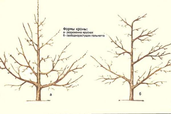 Формирование крон деревьев сливы (для увеличения нажмите на картинку)