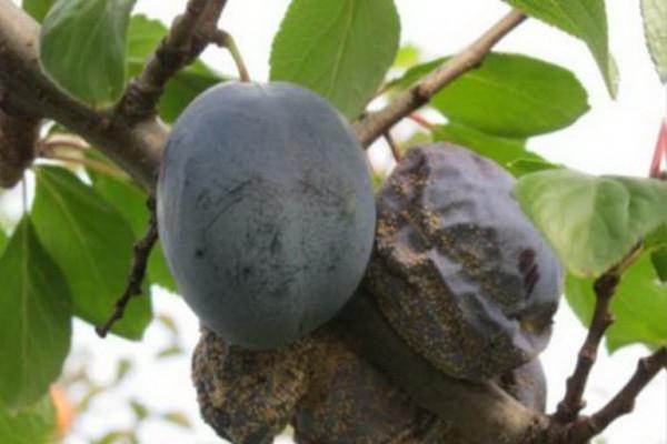 Монилиоз на плодах сливы
