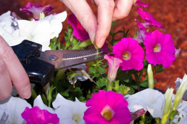 Удаление отцветших соцветий